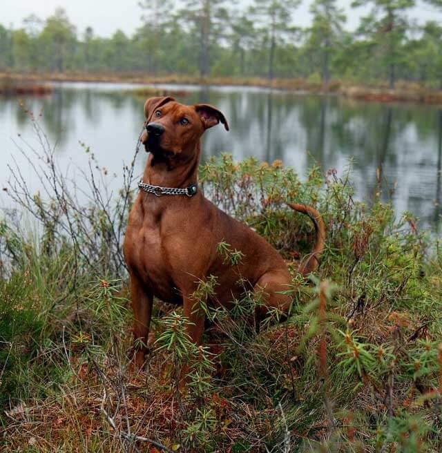 Hund vid sjö i skog