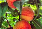 Fina äpplen i trädgård