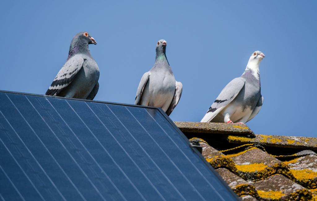 Solpaneler hett tillhåll för häckande fåglar